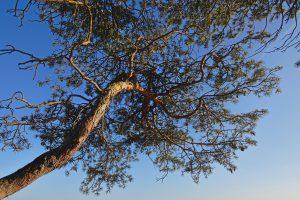 Baum von unten.
