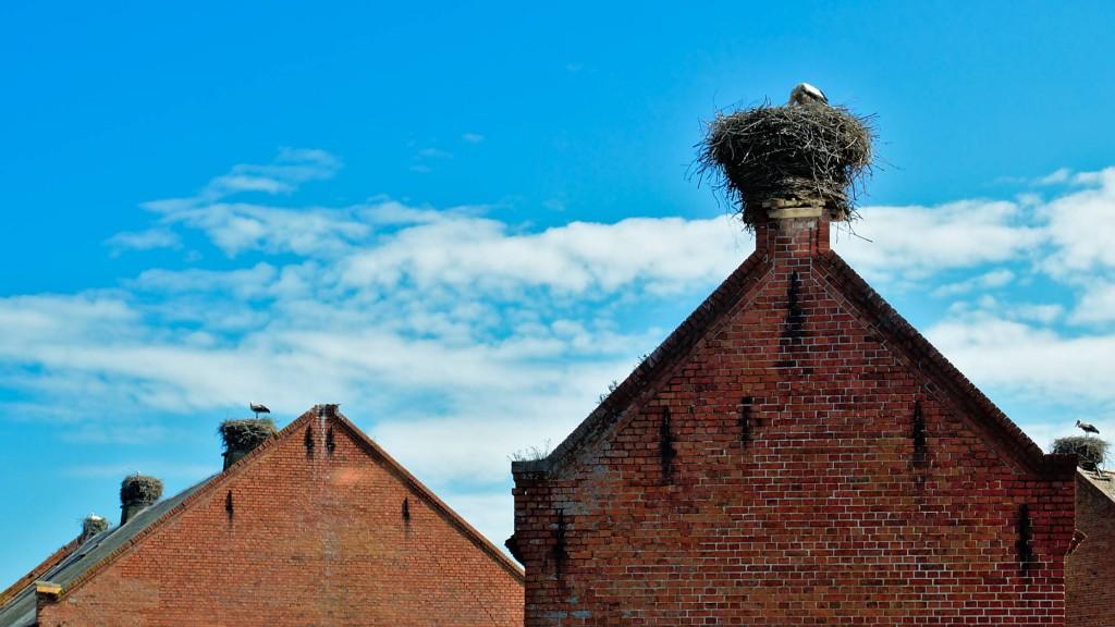 Störche auf Dächern im brandenburgischen Rühstädt an der Elbe