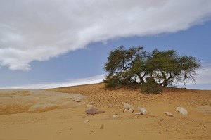 Ein alter und einsamer Baum in der Weißen Wüste.