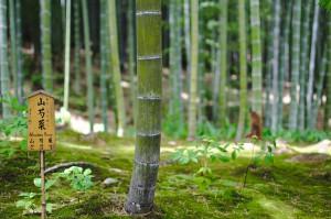"""Bambus im Tenryu-ji Tempel im Westen Kyotos mit einem Schild mit der Aufschrift """"Mountain Peony"""" und japanischen Schriftzeichen."""
