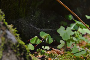 Spinnennetz über einem Kleeblatt auf einem Felsen im Bahratal.