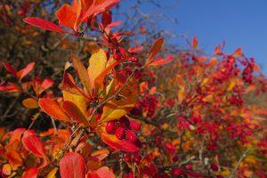 Gebüsch mit roten Beeren am Sonnenberg in Jena.