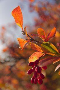 Blätter und rote Beeren an einem Strauch entlang der Sonnenberghorizontalen.