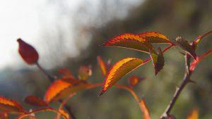 Blätter eines Hagebutten-Strauches an der Sonnenberghorizontalen.