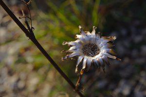 Silbern vertrocknete Blume an der Sonnenberghorizontalen in Jena.