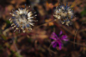 Zwei silbern vertrocknete und eine lilane Blume an der Sonnenberghorizontalen in Jena.
