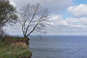 Ein Baum an der Steilküste bei der Hermannshöhe.