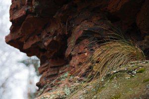 Ein Grasbüschel in einer Felsnische am Trifels in der Pfalz.
