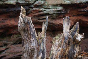 Ein Baumstumpf vor einem Sandsteinfelsen des Trifels in der Pfalz.