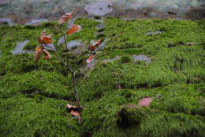 Ein kleines Bäumchen in einer moosigen Felsspalte.