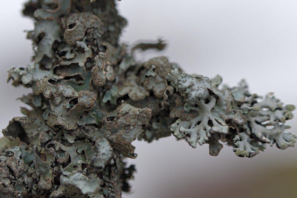 Ein völlig von Flechten überzogenes Aststück an einem Baum beim Sankenbachsee.